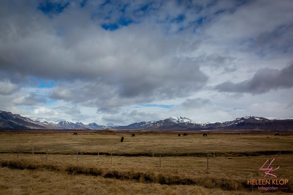 IJslandse paarden IJsland