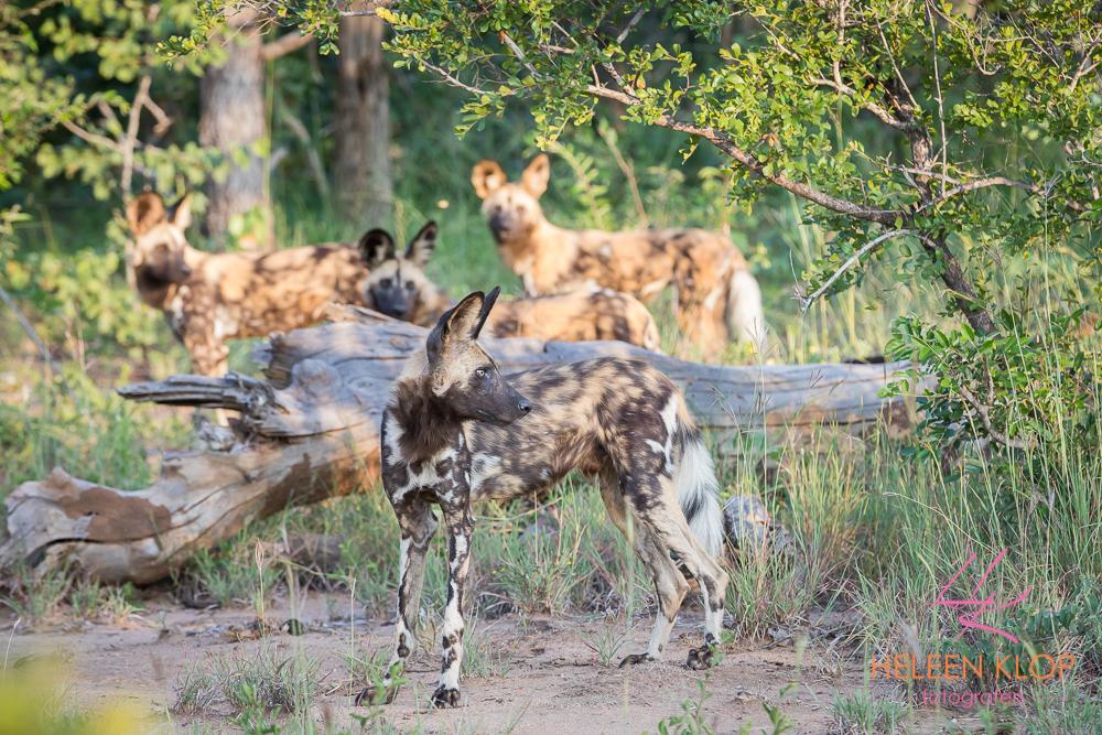 Wilde honden in Zuid Afrika