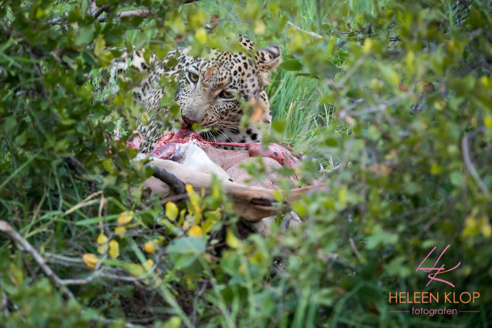 Luipaard met prooi in Zuid Afrika