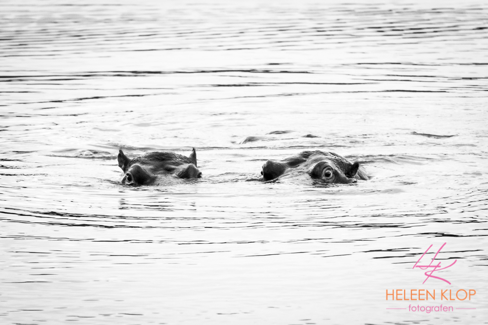 Nijlpaarden Zuid Afrika