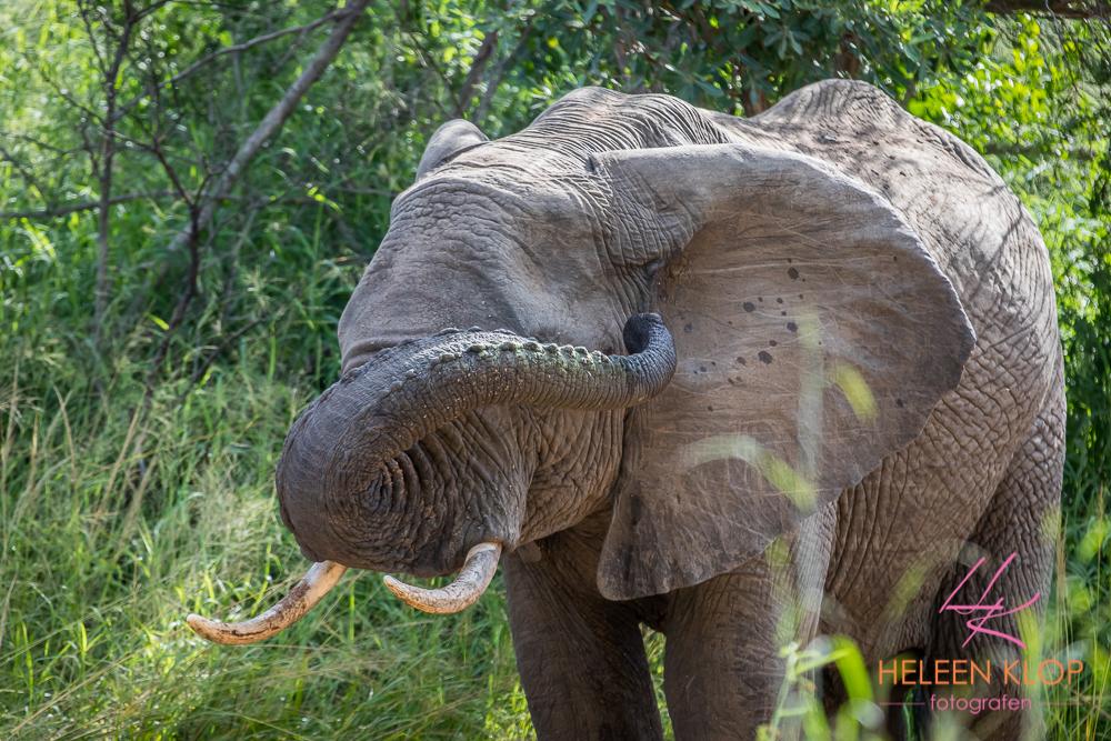 Kiekeboe Olifant Zuid Afrika