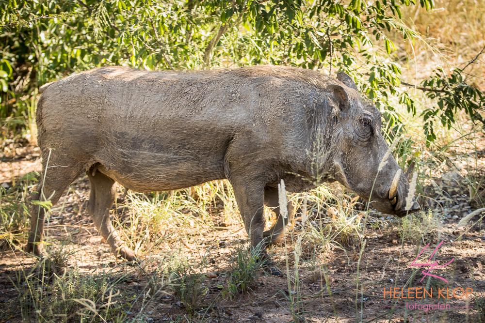 Wrattenzwijn Zuid Afrika