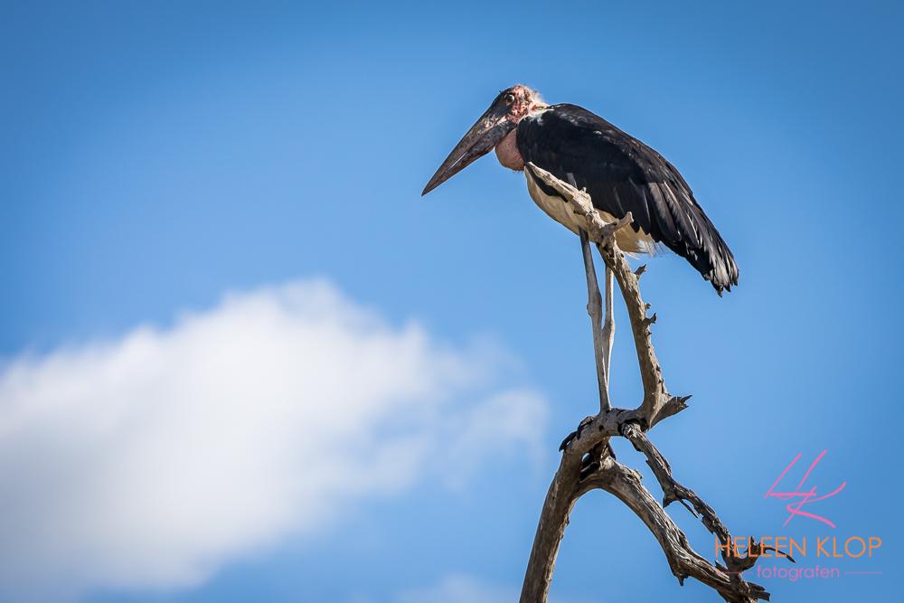 Maraboe in boom Zuid Afrika