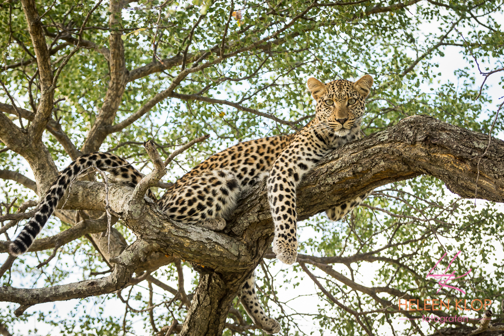 Luipaard in boom Zuid Afrika