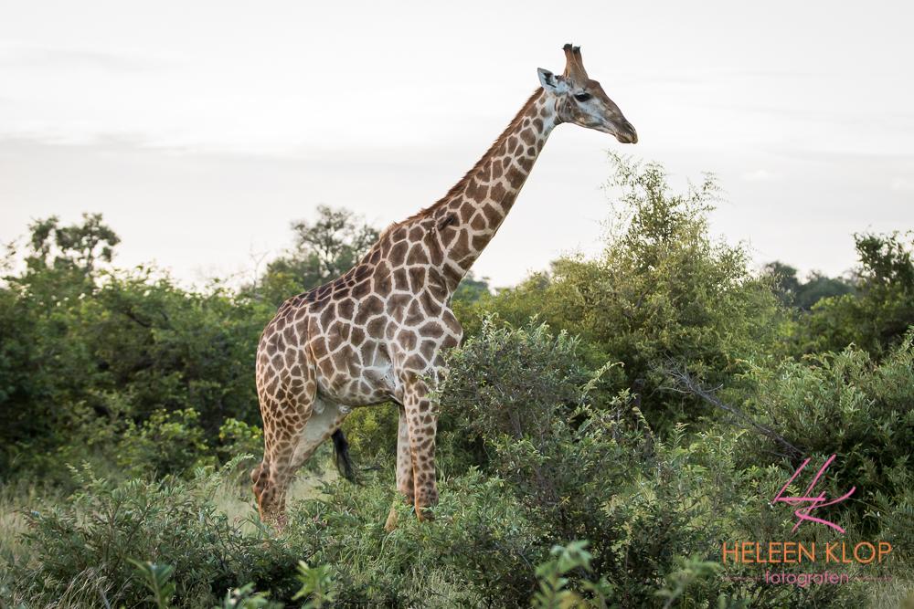 Giraffe Zuid Afrika