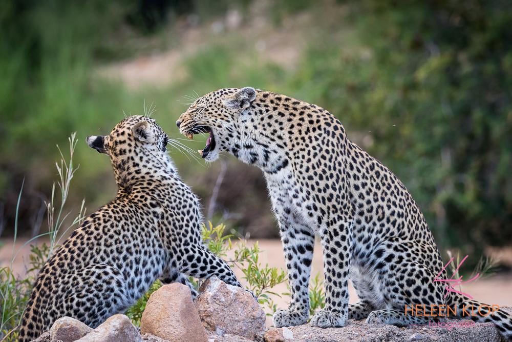 Luipaarden Zuid Afrika